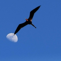 flying bird overlapping moon
